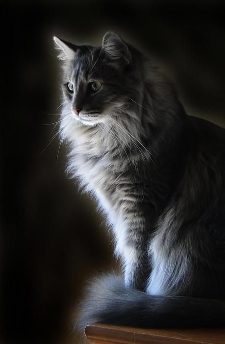 Gray Cat Photograph - Backlit Kitty by Carolyn Fletcher