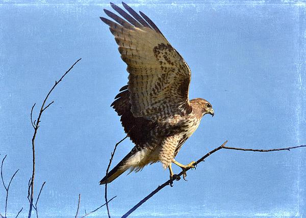 Red Tailed Hawk Photograph - Balancing Act by Fraida Gutovich