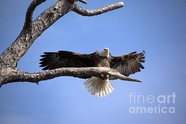 Eagle Photograph - Bald Eagle In Flight 5 by Randy Matthews