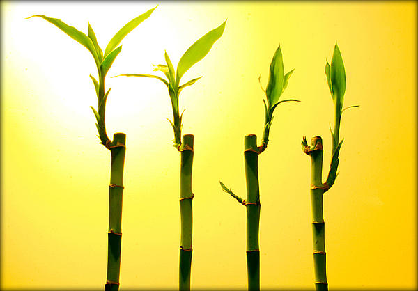 Plants Photograph - Bambo by Mechi