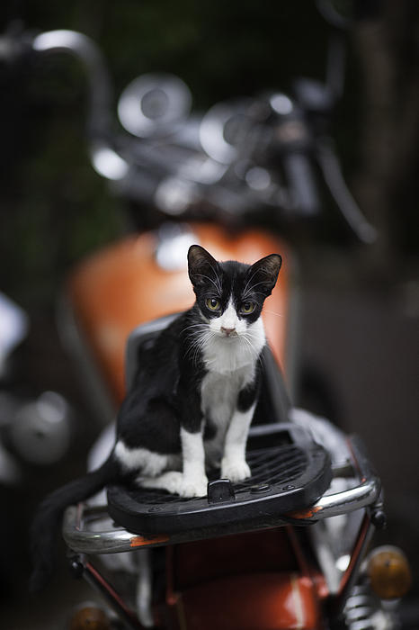 Southeast Asia Photograph - Bangkok Cat by David Longstreath