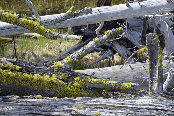 Yellowstone Photograph - Bare Logs And Lichen In Yellowstone by Bruce Gourley