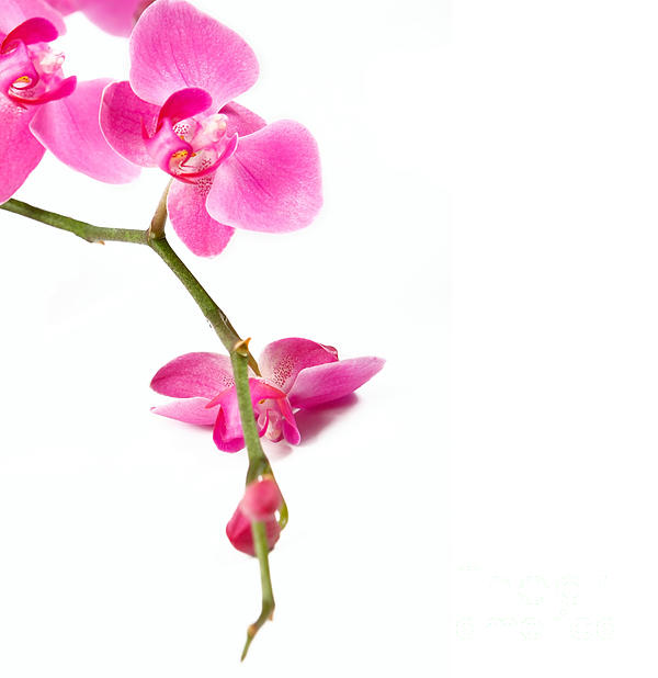 Beautiful Photograph - Beautiful Orchids by Boon Mee