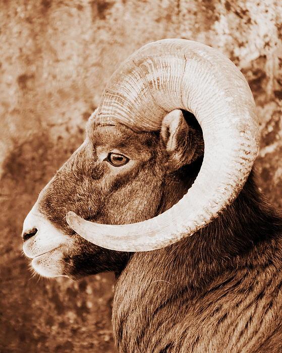 Bighorn Sheep Photograph - Bighorn Sheep Profile by Ramona Johnston