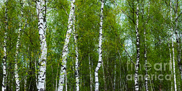 Birch Photograph - Birch Forest by Hannes Cmarits