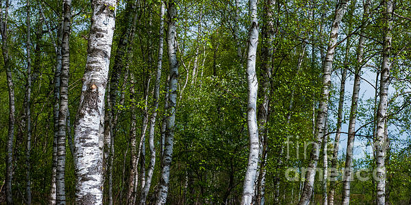 2x1 Photograph - Birch Forest In The Summer by Hannes Cmarits