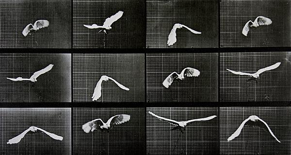 Muybridge Photograph - Bird In Flight by Eadwerd Muybridge