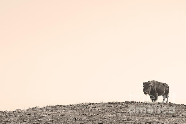 Buffalo Photograph - Bison Hill  by James BO  Insogna