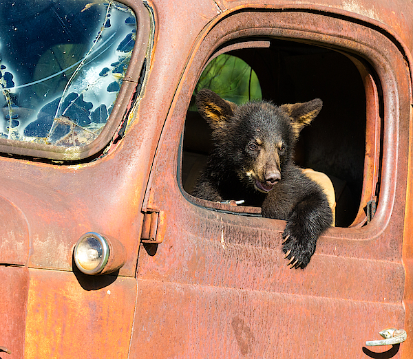Black Bear Cub Playing In Old Truck Photograph by KenCanning
