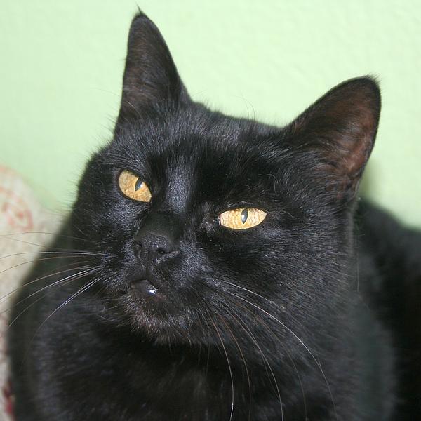Portrait Photograph - Black Cat by Tracey Harrington-Simpson