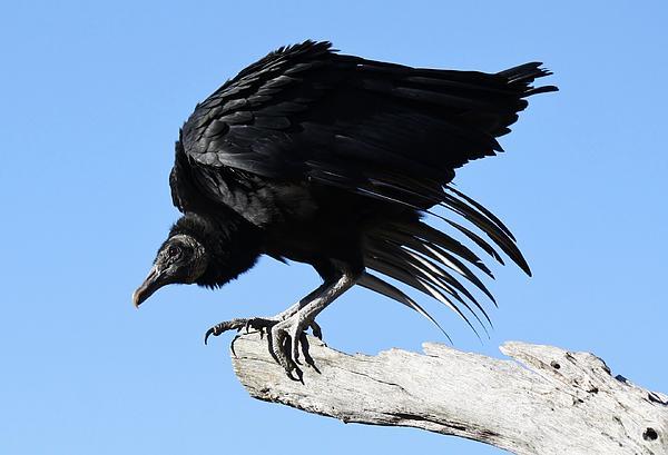 Vulture Photograph - Black Vulture by Paulette Thomas