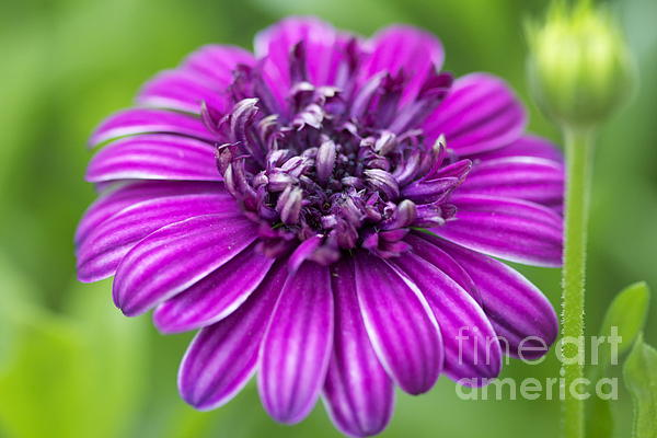 Purple Photograph - Blooming Daisy by Pamela Gail Torres