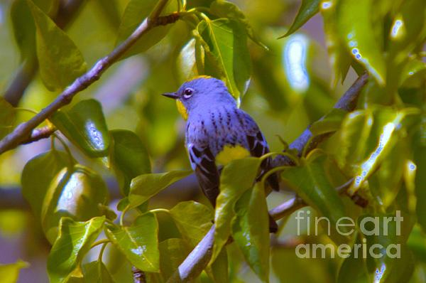 Birds Photograph - Blue Bird With A Yellow Throat by Jeff Swan