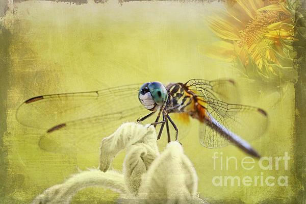Blue Photograph - Blue Dasher by Pamela Gail Torres