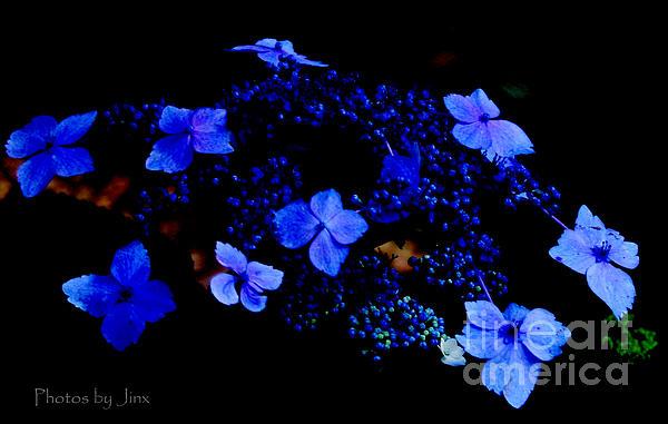 Landscapes Photograph - Blue Lace Cap Hydrangea  by Jinx Farmer