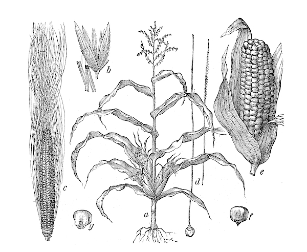 Botany Plants Antique Engraving Illustration: Zea Mays (maize, Corn) Drawing by Ilbusca