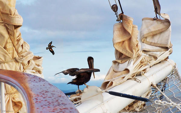 Sea Photograph - Bowsprit Pelicans by Deborah Smith