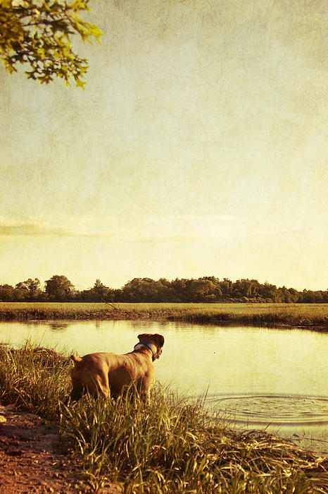 Boxer Photograph - Boxer Dog By The Pond At Sunset by Stephanie McDowell