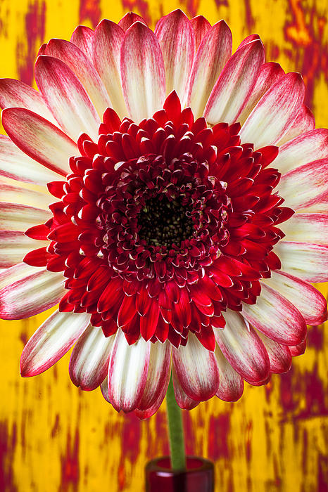 Bright Red Photograph - Bright Red And White Mum by Garry Gay