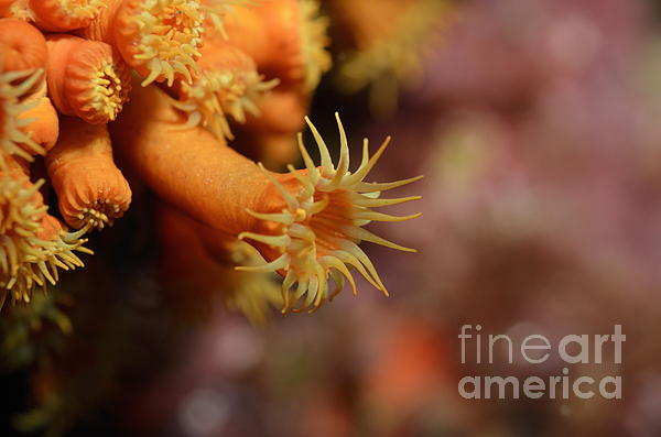 Anemone Photograph - Brightly Colored Yellow Encrusting Anemone by Sami Sarkis