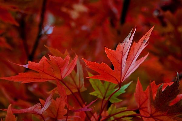 Maple Leaves Digital Art - Brilliant Red Maples by Linda Unger
