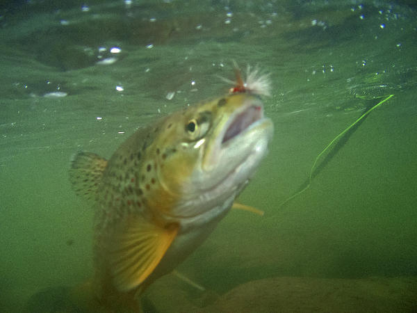 Trout Photograph - Brow Trout In Gallatin River by Jason Standiford