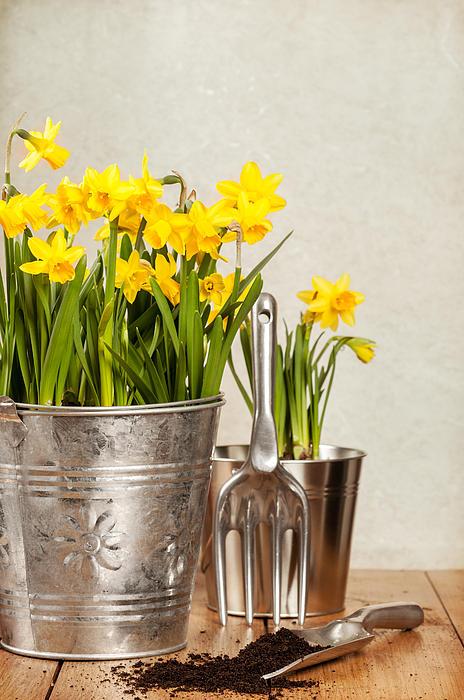 Spring Photograph - Buckets Of Daffodils by Amanda Elwell