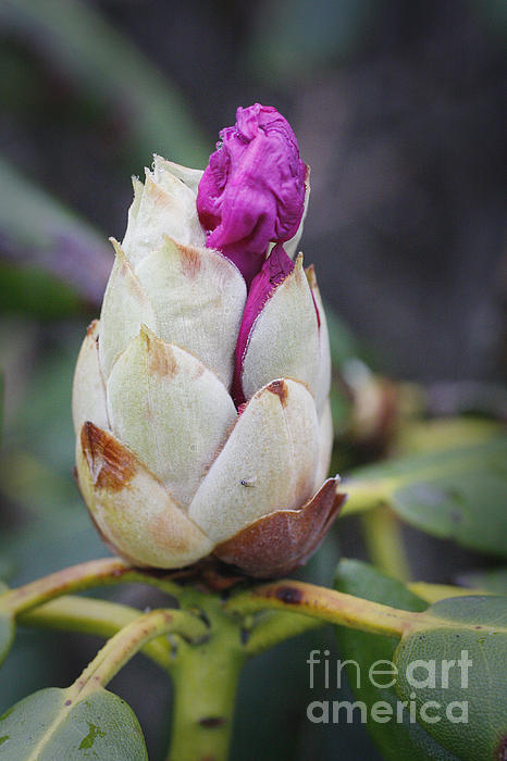 Rhododendron Photograph - Budding Rhododendron by Jonathan Welch
