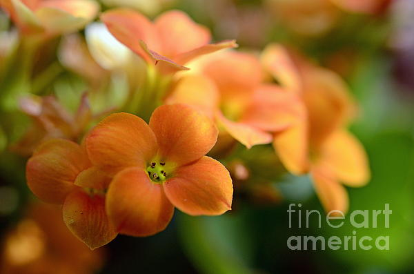 Beauty In Nature Photograph - Bunch Of Small Orange Flowers by Sami Sarkis