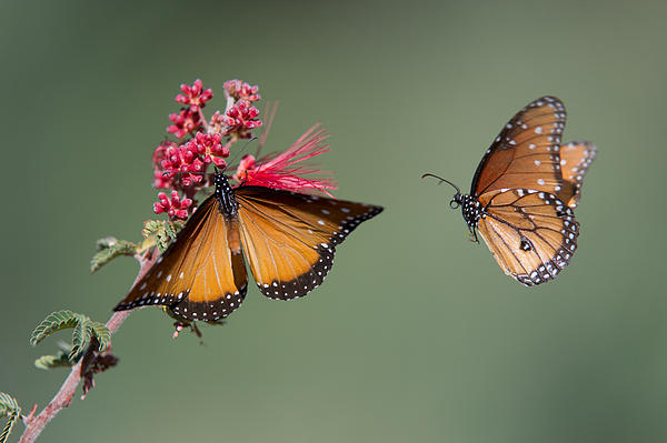 Butterfly Photograph - Butterfly Flight by Jeff Wendorff