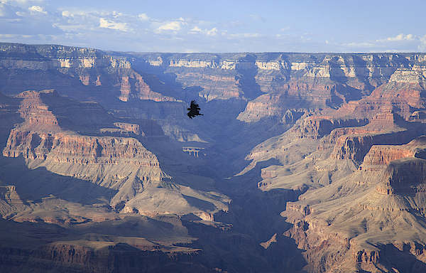 Ca Condor Soars Over The Grand Canyon, South Rim Photograph by Timothy Hearsum