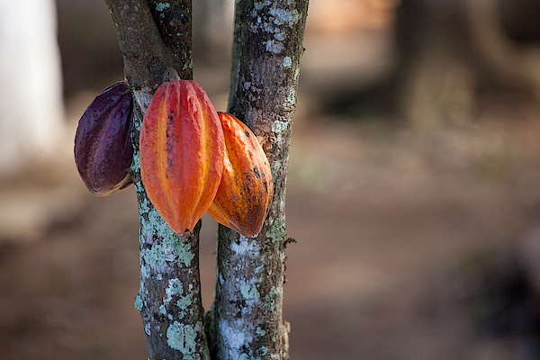 Cacao Tree Photograph by © Cyrielle Beaubois