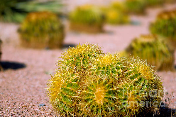 Cacti Photograph - Cactus by Amy Cicconi