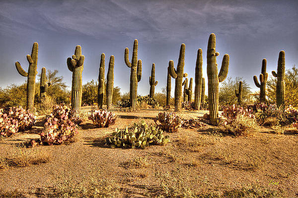 Hdr Photograph - Cactus Patch by George Lenz