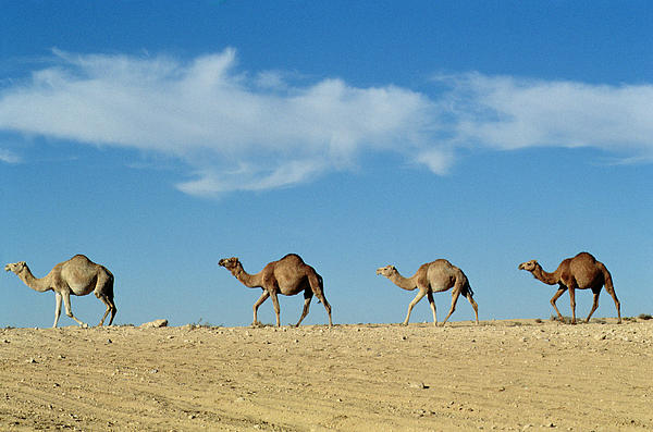 Camels; Animal; Desert; Arid Photograph - Camel Train by Anonymous