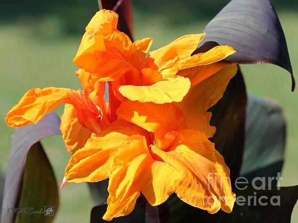 Jem Fine Arts Photograph - Canna Lily Named Wyoming by J McCombie