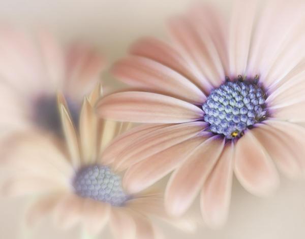 Daisy Photograph - Cascading Daisies by David and Carol Kelly