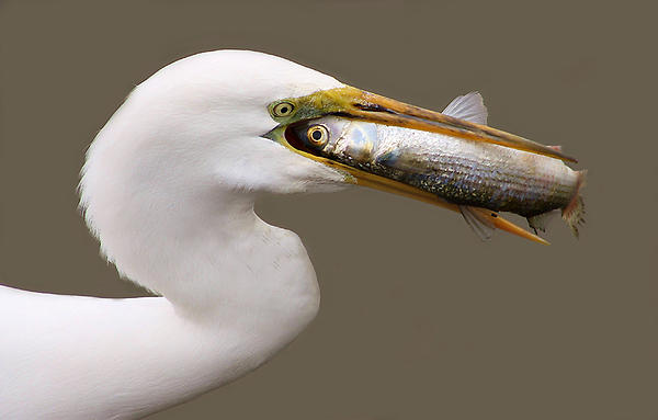 Great White Egret Photograph - Catch Of The Day by Paulette Thomas