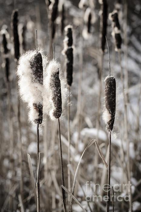 Cattails Photograph - Cattails In Winter by Elena Elisseeva