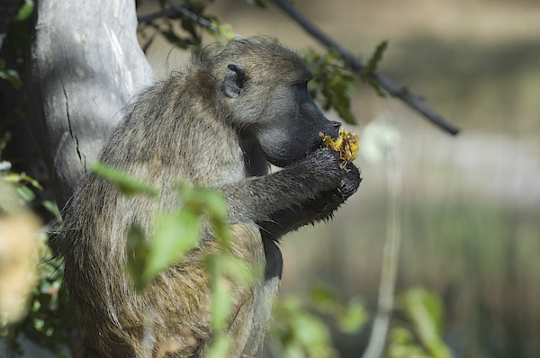 Chacma Baboon, Eating A Wild Fruit, Moremi Game Reserve, Botswana Photograph by Franz Aberham