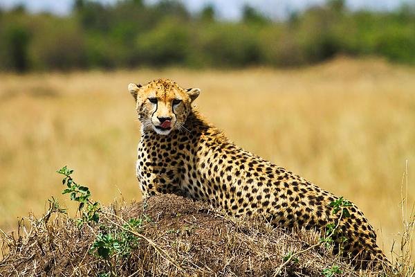 Action Pyrography - Cheetah by Kongsak Sumano