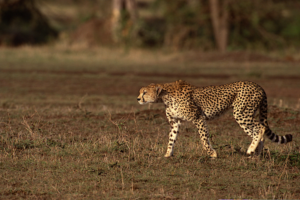 Cheetah Walking In Grasslands , Kenya , Africa Photograph by Comstock Images