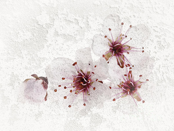 Cherry Photograph - Cherry Blossoms Close Up by Elena Elisseeva