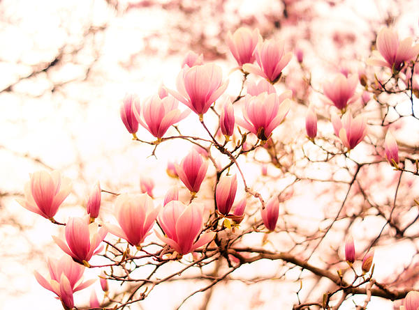 Cherry Blossoms Photograph - Cherry Blossoms - Springtime Blush Pink by Vivienne Gucwa