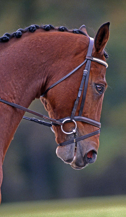 Horse Photograph - Chestnut by Skip Willits