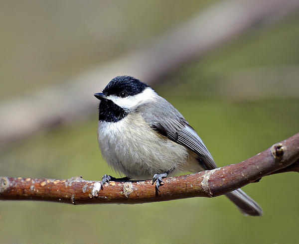 Chickadee Photograph - Chickadee by Susan Leggett