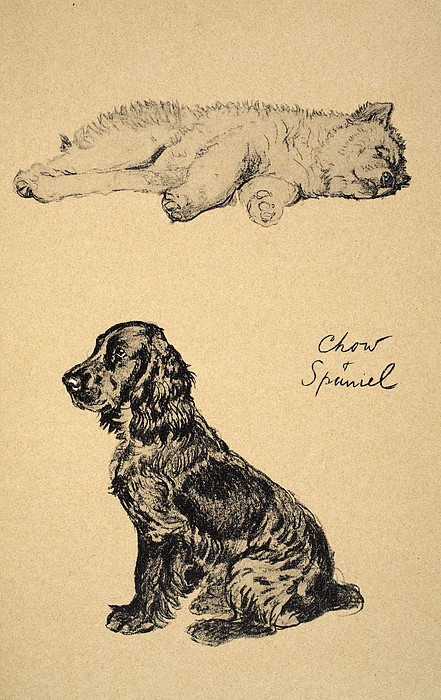Dog Drawing - Chow And Spaniel, 1930, Illustrations by Cecil Charles Windsor Aldin