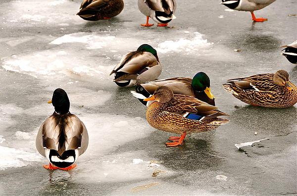 Duck Photograph - City Center by Catherine Renzini