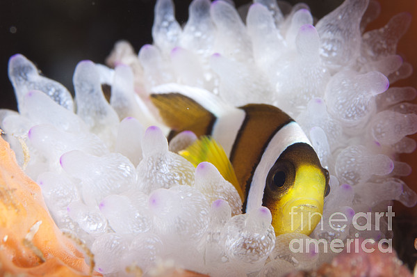 Osteichthyes Photograph - Clarks Anemonefish In White Anemone by Steve Jones