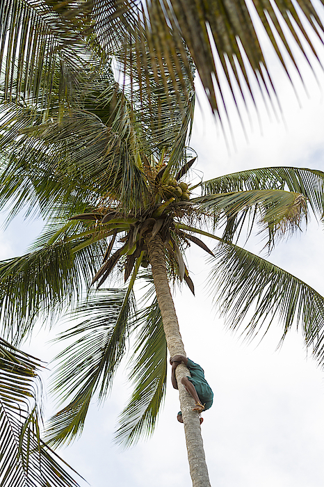 Climbing Coconut Palm Photograph by PJPhoto69
